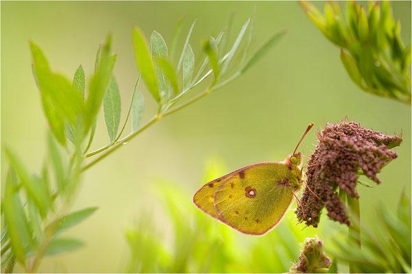 Gelbling (Colias spec.), Schweiz, Wallis