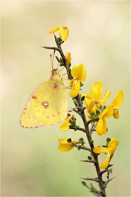 Gelbling (Colias spec.), Frankreich, Ardèche