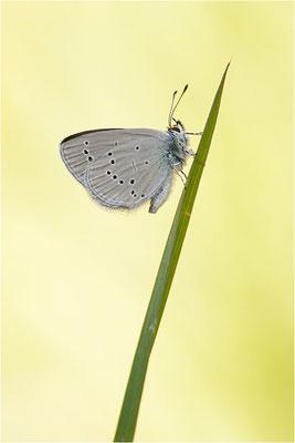Zwergbläuling (Cupido minimus)