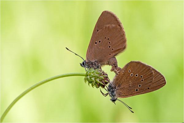 Dunkler Wiesenknopf-Ameisenbläuling (Phengaris nausithous), Deutschland, Baden-Württemberg