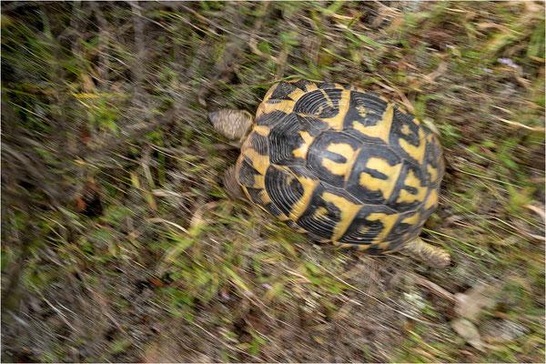 Griechische Landschildkröte auf Speed