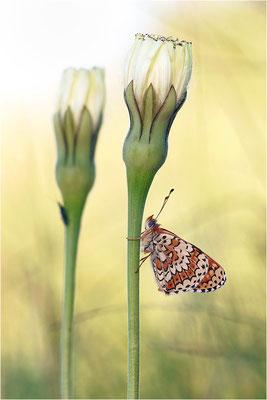 Westlicher Scheckenfalter (Melitaea parthenoides), Frankreich, Ardèche