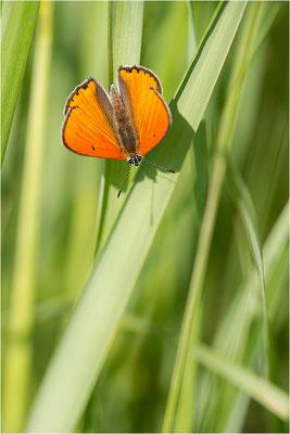 Großer Feuerfalter (Lycaena dispar), Männchen, Deutschland, Baden-Württemberg