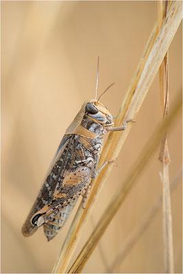 Italienische Schönschrecke (Calliptamus italicus), Weibchen, Frankreich, Drôme