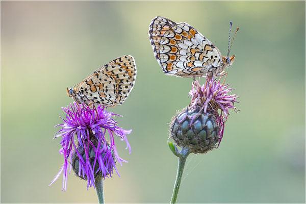 rechts: Melitaea phoebe