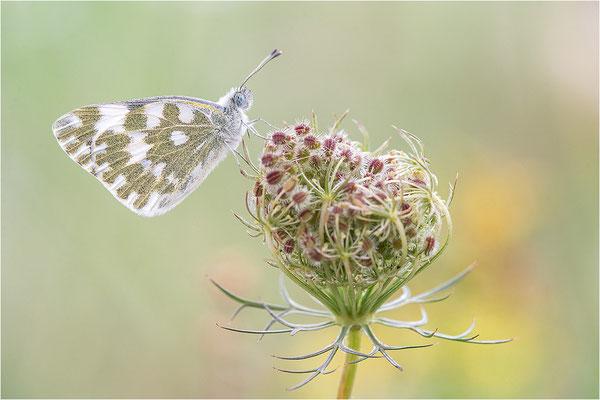 Resedaweißling (Pontia daplidice), Savoie, Frankreich