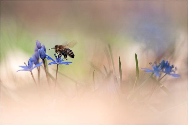 Zweiblättriger Blaustern (Scilla bifolia) und Honigbiene (Apis mellifera), Deutschland, Baden-Württemberg