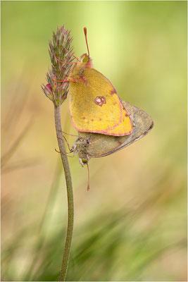 Gelbling (Colias spec.), Paarung, Schweiz, Wallis