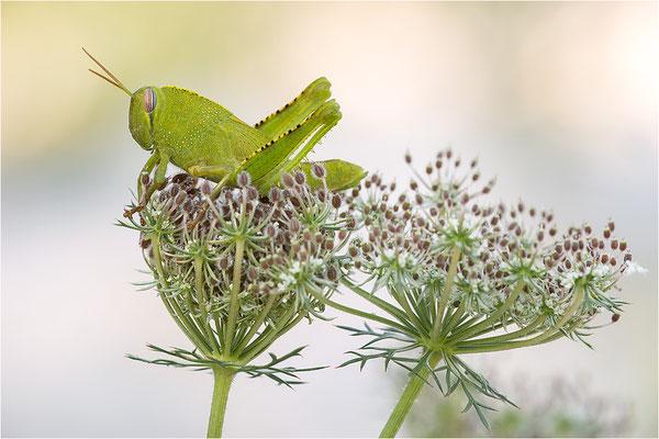 Ägyptische Wanderheuschrecke (Anacridium aegyptium), Larve, Frankreich, Drôme