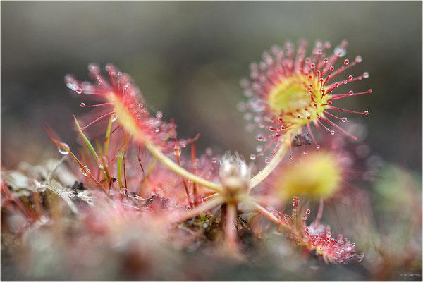 Rundblättriger Sonnentau (Drosera rotundifolia), Schweden, Dalsland