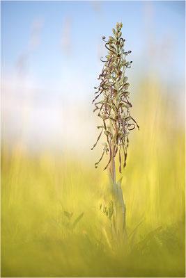 Bocks-Riemenzunge (Himantoglossum hircinum), Alsace, Frankreich