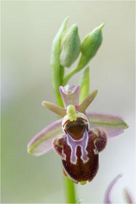 Ophrys scolopax x provincialis (?), Plaines-des-Maures, Var