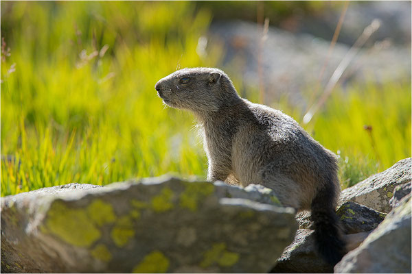 Alpenmurmeltier (Marmota marmota), Italien, Region Aostatal, 2000m