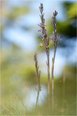 Violetter Dingel (Limodorum abortivum), Schweiz, Oberwallis