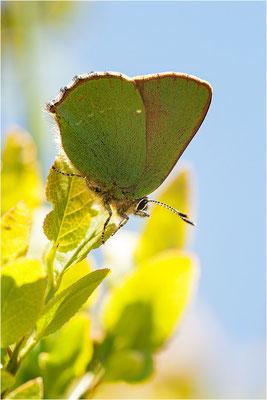 Brombeer-Zipfelfalter (Callophrys rubi), Schweiz, Wallis