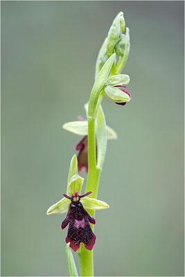 Fliegen-Ragwurz (Ophrys insectifera), Frankreich, Dep. Drôme
