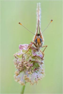 Roter Scheckenfalter (Melitaea didyma), Frankreich, Drôme