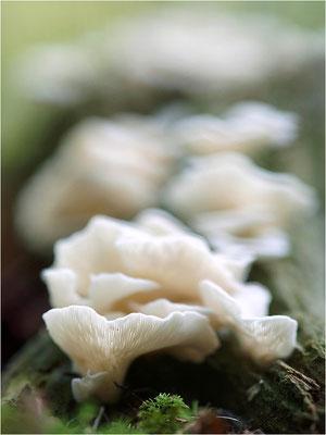 Ohrförmiger Seitling (Pleurocybella porrigens), Deutschland, Nordschwarzwald