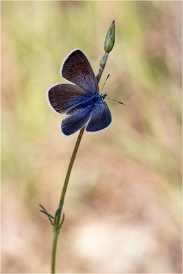 Alexis-Bläuling (Glaucopsyche alexis), Weibchen, Frankreich, Ardèche