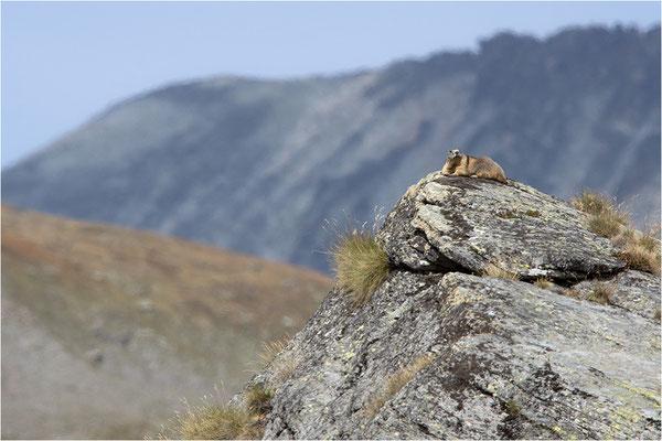 Alpenmurmeltier (Marmota marmota), Frankreich, Dep, Savoie