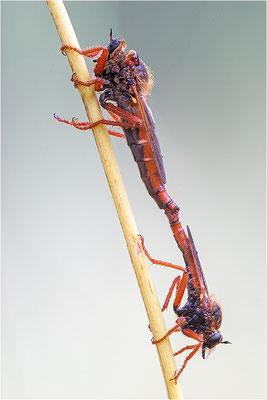 Raubfliegen (Stenopogon spec.), Paarung, Frankreich, Savoie