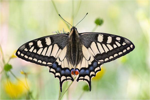 Schwalbenschwanz (Papilio machaon), Schweiz, Kt. Bern