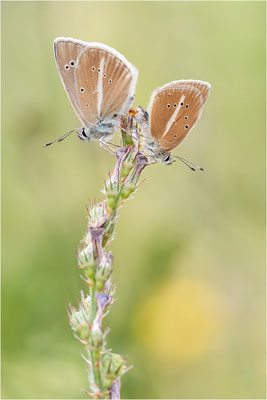 Weißdolch-Bläuling (Polyommatus damon), Paarung, Schweiz, Wallis