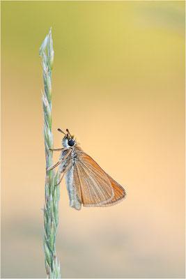 Schwarzkolbiger Braun-Dickkopffalter (Thymelicus lineola), Frankreich, Ardèche