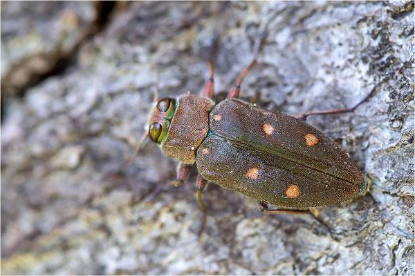 Goldgruben-Eichenprachtkäfer (Chrysobothris affinis)