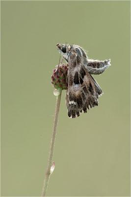 Malven-Dickkopffalter (Carcharodus alceae), Deutschland, Baden-Württemberg