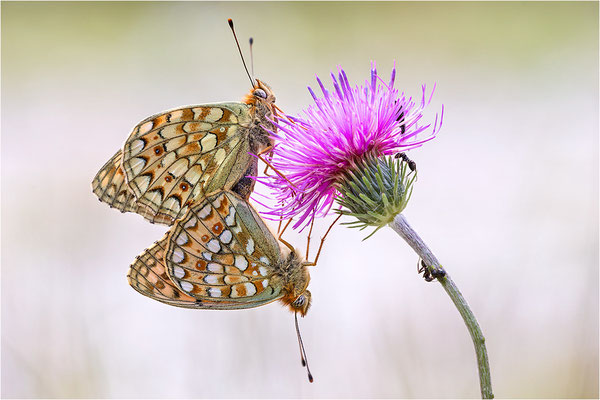 Stiefmütterchen-Perlmutterfalter (Argynnis niobe / Argynnis niobef. eris), Paarung, Italien, Region Aostatal, 2200m