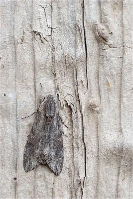 Windenschwärmer (Agrius convolvuli), Deutschland, Baden-Württemberg