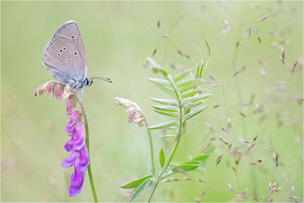 Rotklee-Bläuling (Cyaniris semiargus), Italien, Piemont