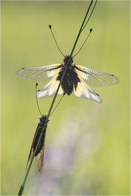 Libellen-Schmetterlingshaft (Libelloides coccajus), Deutschland, Baden-Württemberg, Kaiserstuhl