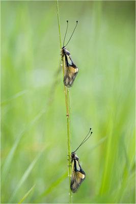 Libellen-Schmetterlingshaft (Libelloides coccajus), Schweiz, Wallis