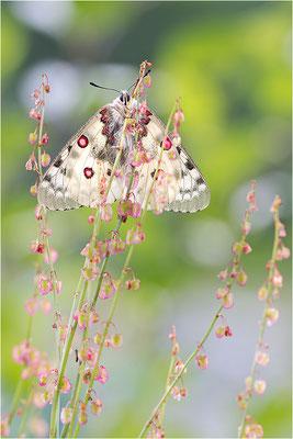 Hochalpen-Apollo (Parnassius phoebus), Italien, Region Aostatal