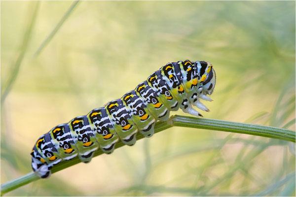 Korsischer Schwalbenschwanz (Papilio hospiton)