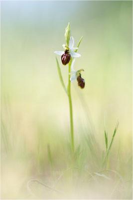 Ophrys splendida, Var