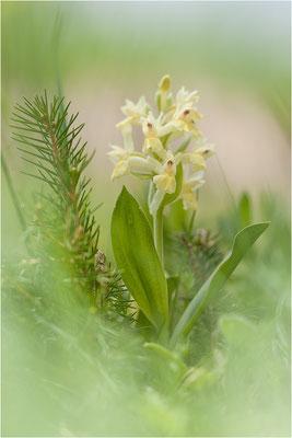 Brombeer-Fingerwurz (Dactylorhiza sambucina), Schweiz, Wallis