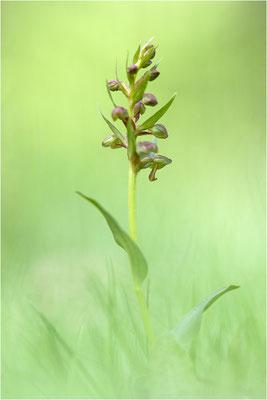 Grüne Hohlzunge (Coeloglossum viride), Schweiz, Oberwallis