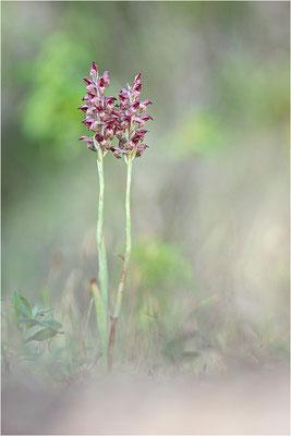Wanzen-Knabenkraut (Anacamptis coriophora fragrans), Korsika