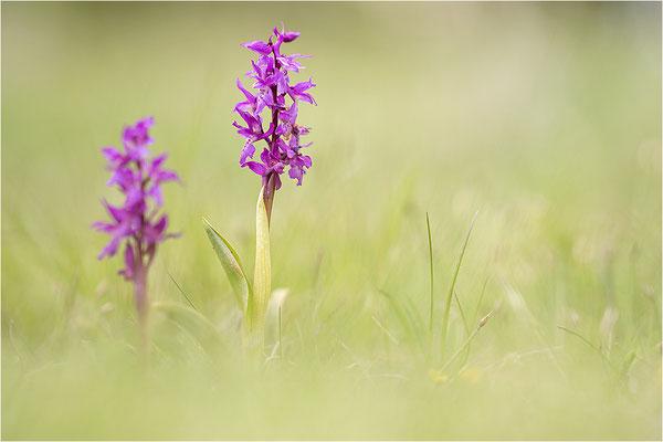 Manns-Knabenkraut (Orchis mascula), Frankreich, Drôme