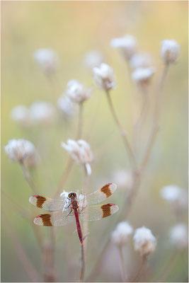 Gebänderte Heidelibelle (Sympetrum pedemontanum), Frankreich, Drôme