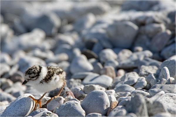 Sandregenpfeifer (Charadrius hiaticula), Gotland, Schweden
