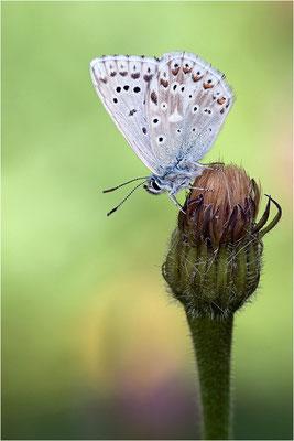 Silbergrüner Bläuling (Polyommatus coridon), Männchen, Schweiz, Kanton Bern