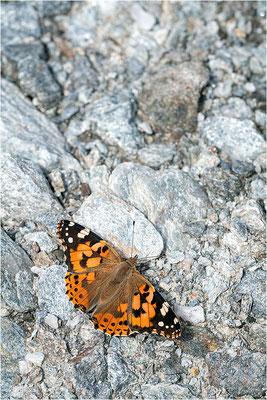 Distelfalter (Vanessa cardui), Frankreich, Dep. Savoie