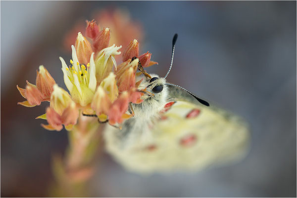 Roter Apollo (Parnassius apollo leovigildus), Frankreich, Dep. Alpes-de-Haute-Provence