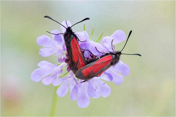 Thymian-Widderchen (Zygaena purpuralis), Paarung, Italien, Region Aostatal, 2300m