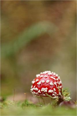 Roter Fliegenpilz (Amanita muscaria), Deutschland, Nordschwarzwald