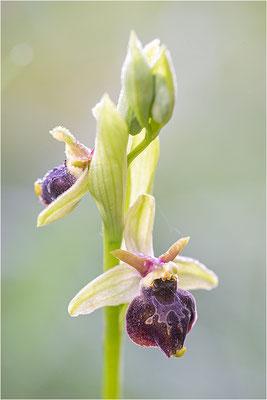 Hybride aus Spinnen- und Hummel-Ragwurz (Ophrys x aschersonii), Südlicher Oberrhein, Baden-Württemberg